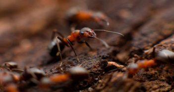 Effektive Hausmittel gegen Ameisen