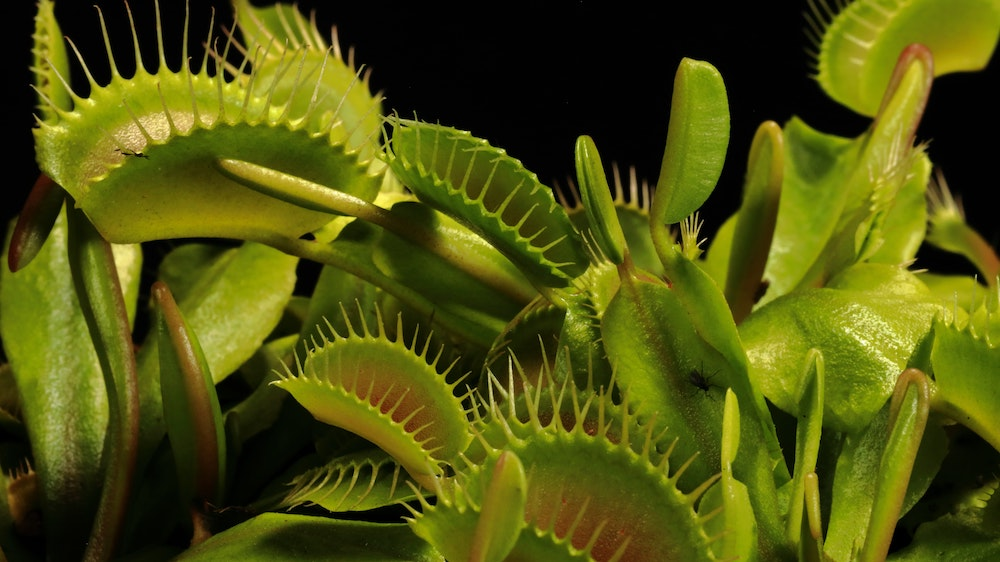 Dionaea muscipula richtige Pflege