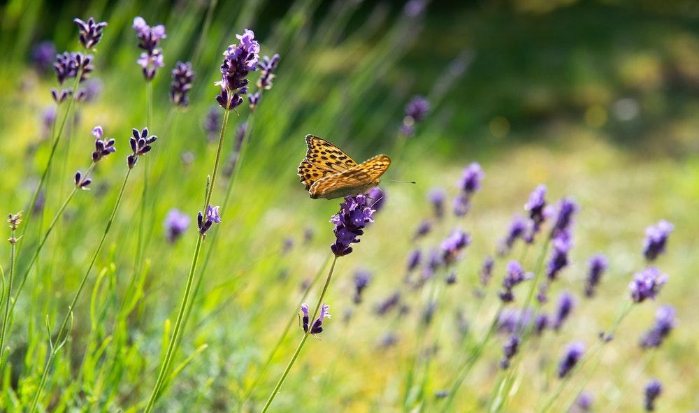 Hausmittel Lavendel gegen Mücken
