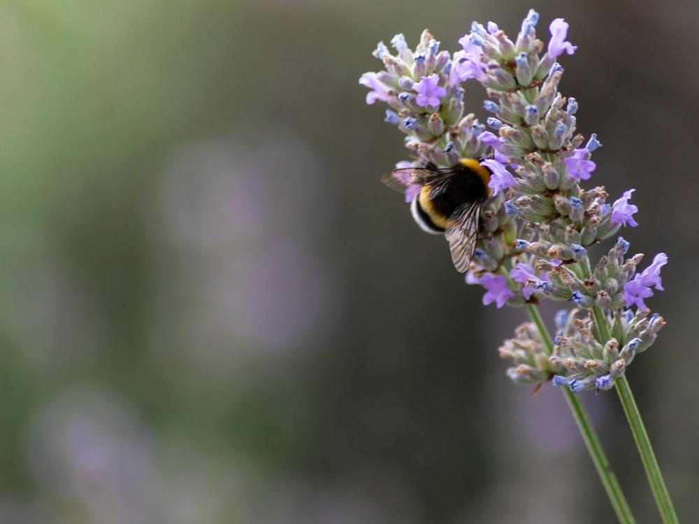 Lavendel gegen Motten einsetzen