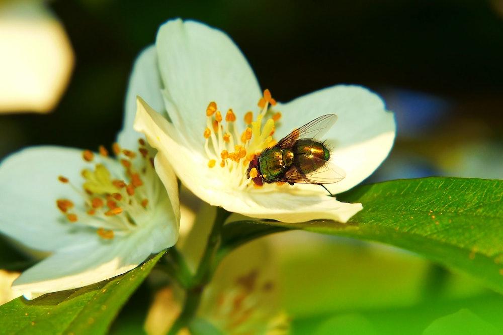 Lebend-Fruchtfliegenfalle Test und Erfahrung