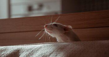 Mäuse im Haus bekämpfen Tipps und Ratgeber