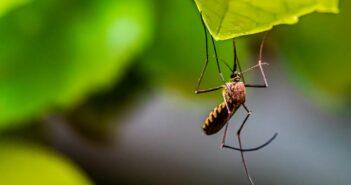 Die besten Pflanzen gegen Mücken