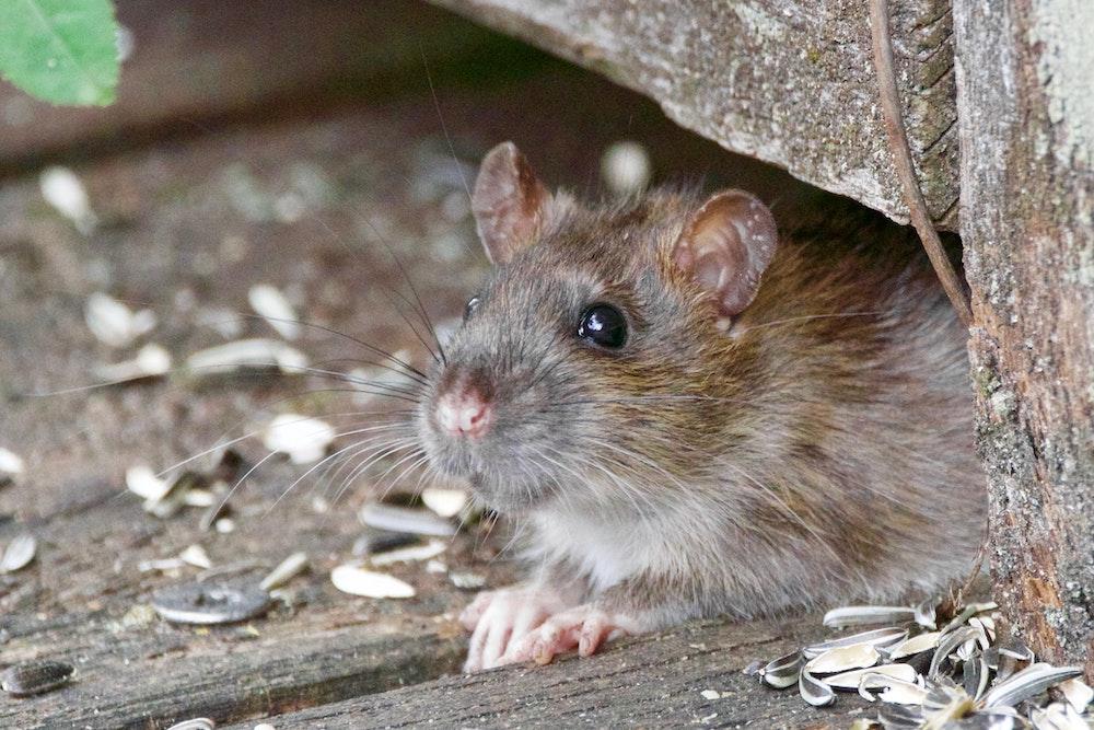 Die besten Ratten vergiften Mittel