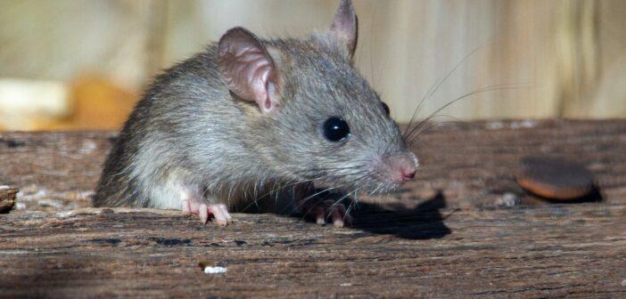 Rattenfalle Test und Empfehlungen