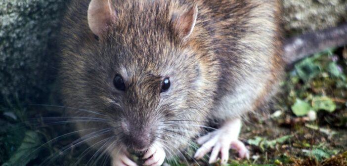 Rattengift Test und Empfehlungen