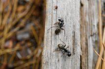 Tipps & Ratgeber - Was hilft gegen Ameisen