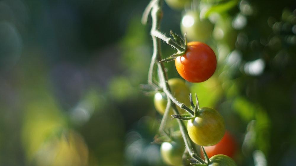 Tomatenpflanze gegen Mücken
