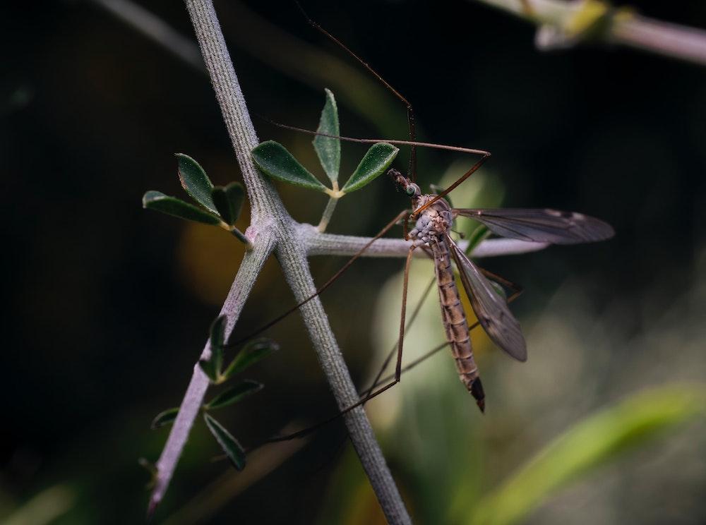 Trichogramma Schlupfwespe als biologische Schädlingsbekämpfung