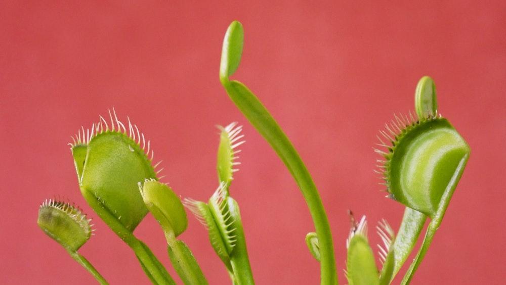 Venusfliegenfalle Dionaea Muscipula Die Pflanze Gegen Mucken
